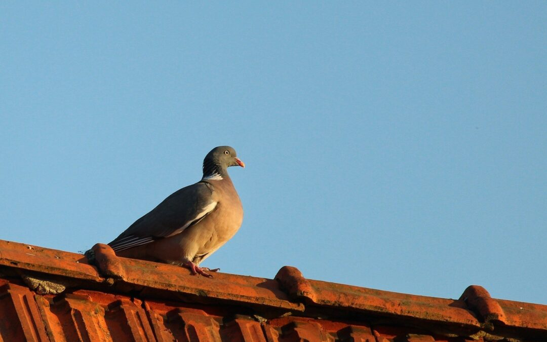 pigeon resting on red roof with blue sky background
